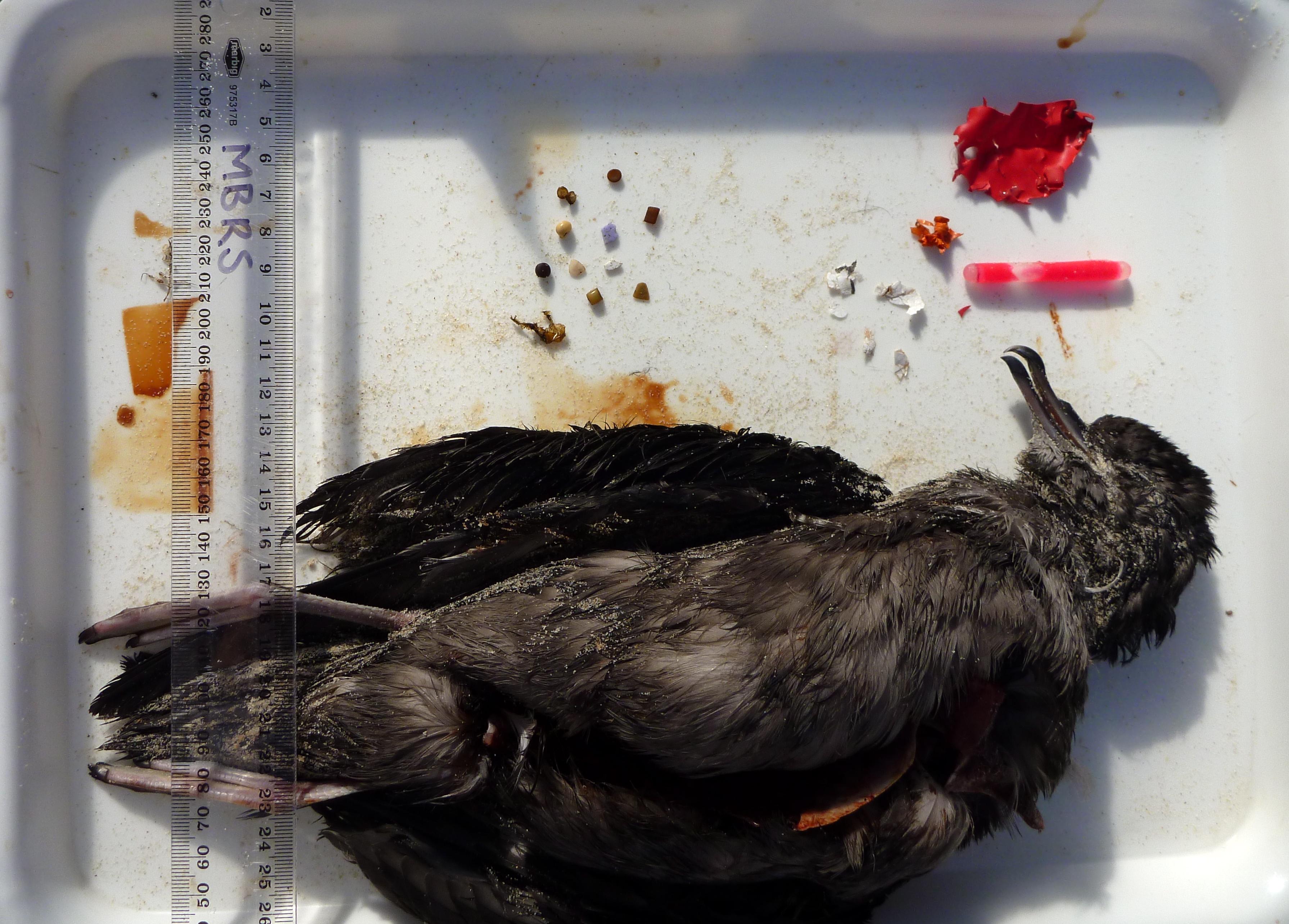 Uma das aves do estudo, com seu conteúdo estomacal, em sua maioria, plástico. © Heidi Acampora